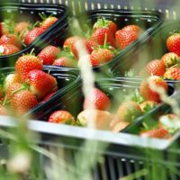 KENTS CROP OF BERRY EXPERTS GROWS